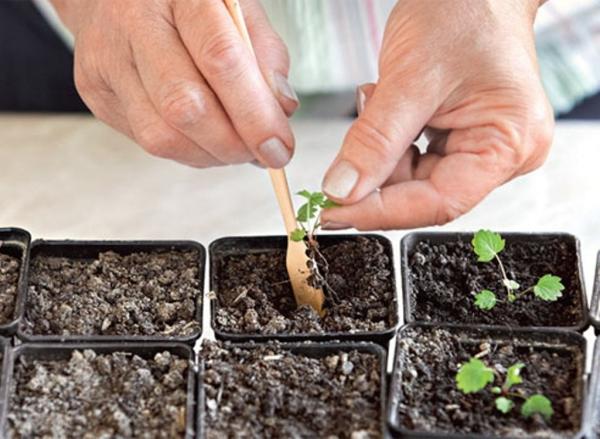 Сорт можно размножить усами, делением куста, посевом семян и дальнейшей высадкой саженцев
