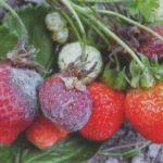 При созревании ягоды клубники могут быть поражены серой гнилью