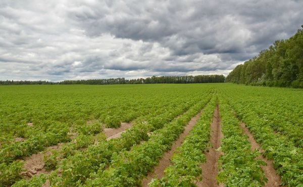 Ровные ряды высаженной картошки
