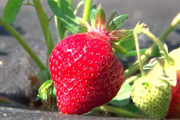 Плодоносит один раз за сезон, в конце мая, один куст дает до 400 граммов урожая