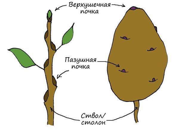 Строение картофеля