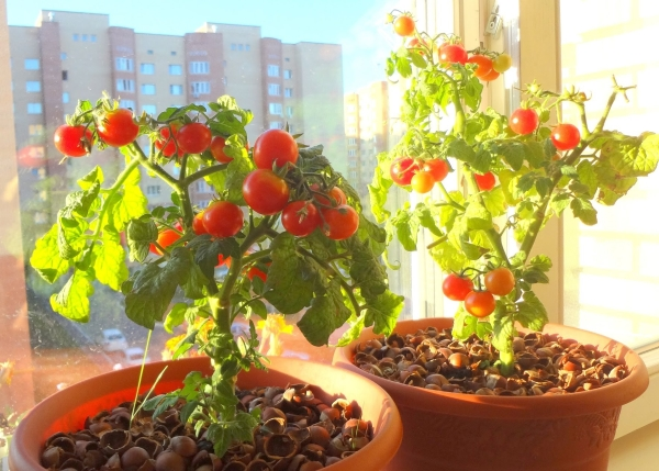 Существуют специальные сорта, пригодные для выращивания на балконе