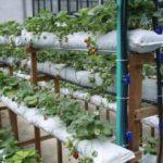 Выращивание клубники в мешках горизонтальным способом
