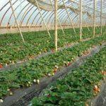 Выращивание клубники в теплице на грунте