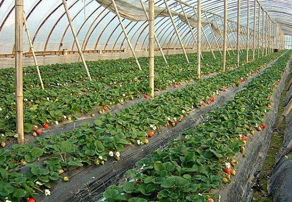 клубника соната выращивание в теплице