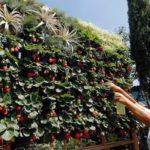 Живая изгородь из клубники