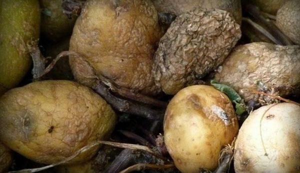 Замерзший картофель