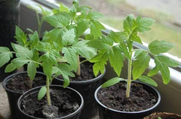 Томаты Волгоградские высаживают рассадой, которой больше 60 дней