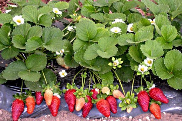 Ремонтантная клубника способна плодоносить круглый год