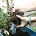 Куст выкапывают вместе с земляным комом