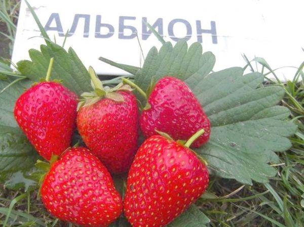 Сорт клубники Альбион имеет крупные плоды весом около 50гр