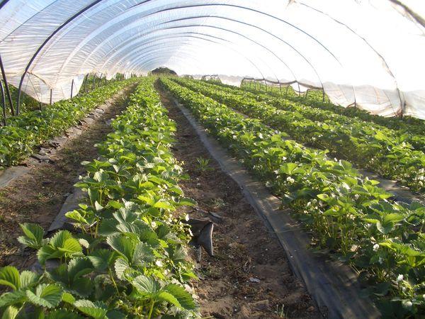 При выращивании в умеренном климате необходимо создание укрытия