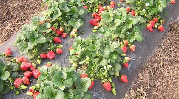 Если посадить клубнику Альбион осенью - летом будет первый урожай