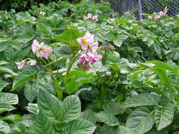 Для успешного развития клубней необходимо обрывание цветков