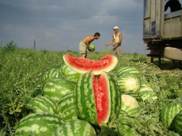 Сбор урожая арбуза