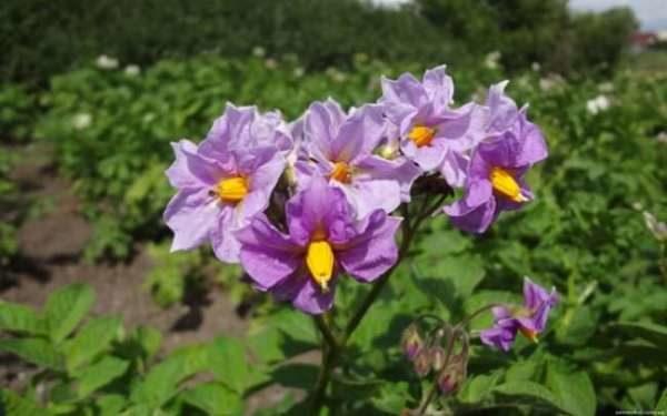 Цвет картофеля Любава