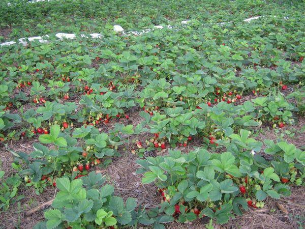 Сорт Азия хорошо растет в почвах богатых гумусом