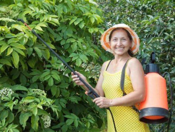 Опрыскивание растений отваром из луковой шелухи