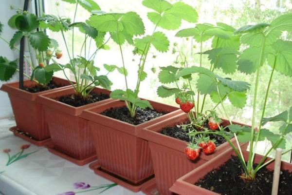 Для выращивания ягоды наиболее подходят застекленные балконы, находящиеся на южной стороне