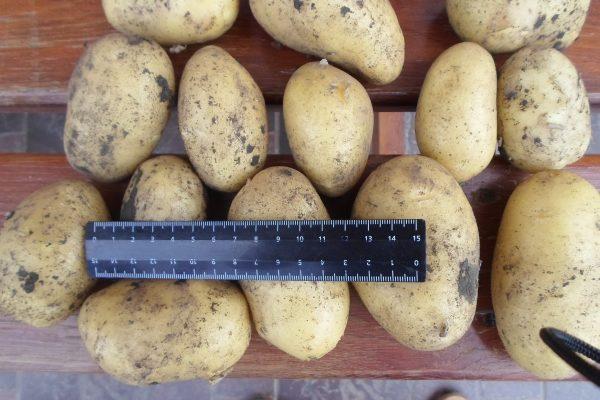 Ранний картофель Коломбо