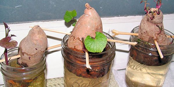 Для посадки в открытом грунте проращивают половинки клубней в стакане с водой