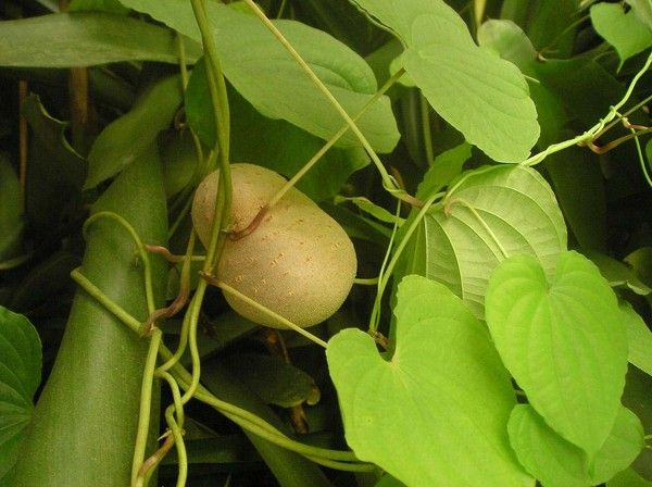 В кулинарии также используются листья и стебли батата