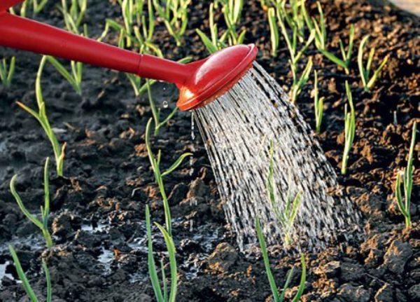 Чеснок является растением, которое избыточное увлажнение не переносит