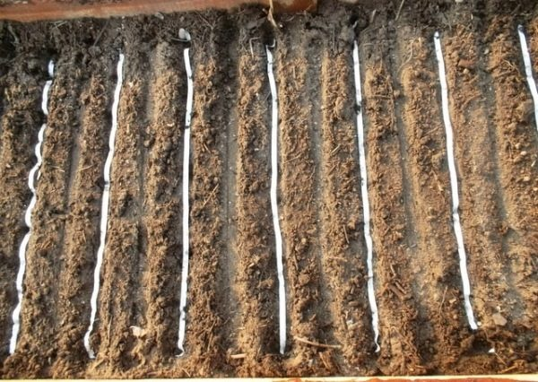 Посадка лука с помощью семенных лент