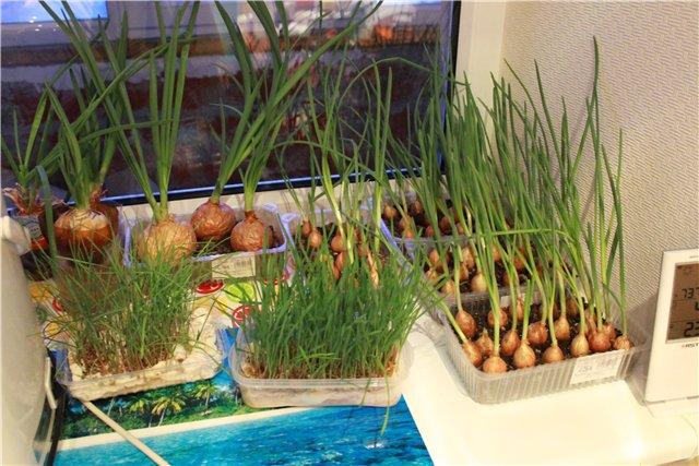 Зеленый лук на подоконнике дома: как вырастить, как посадить.