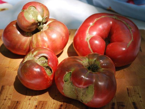 Болезни томатов и рассады