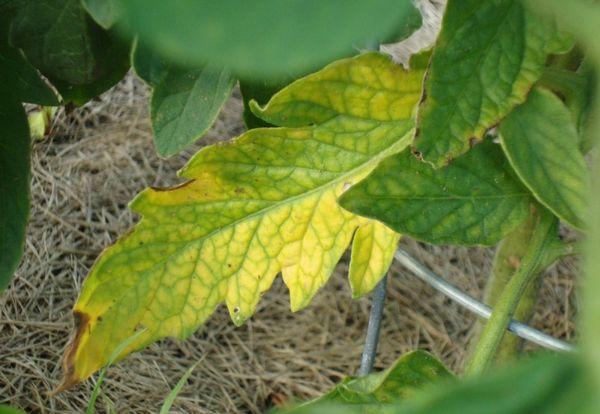 Пожелтение листьев томатов