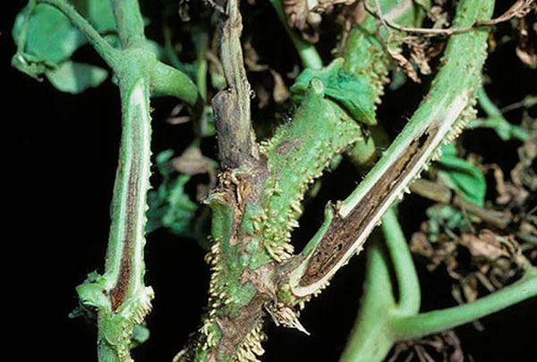 Некроз стебля томата