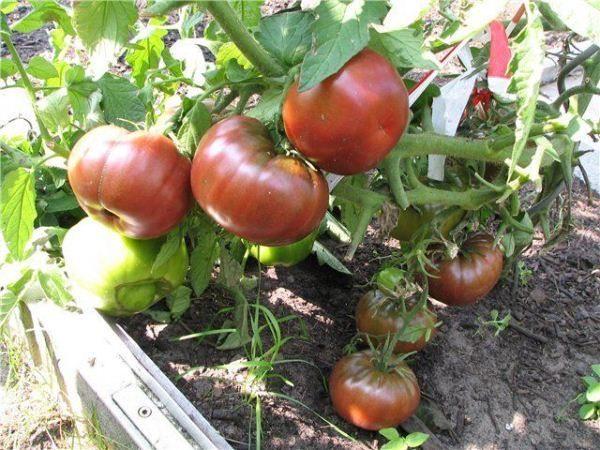 Кусты Черного принца довольно высокие, поэтому стебли и кисти необходимо подвязывать, чтобы побеги не ломались под тяжестью помидоров