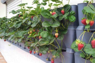 Выращивание клубники по технологии лядова 9