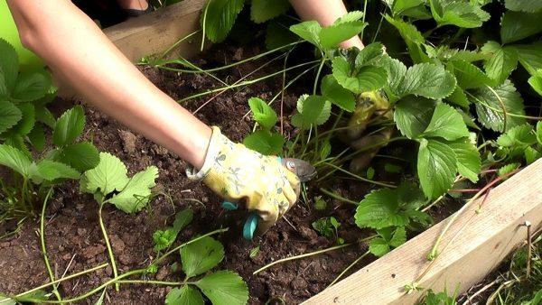 После сбора урожая клубники следует сразу же обрезать листья, чтобы кусты подготовились к зиме