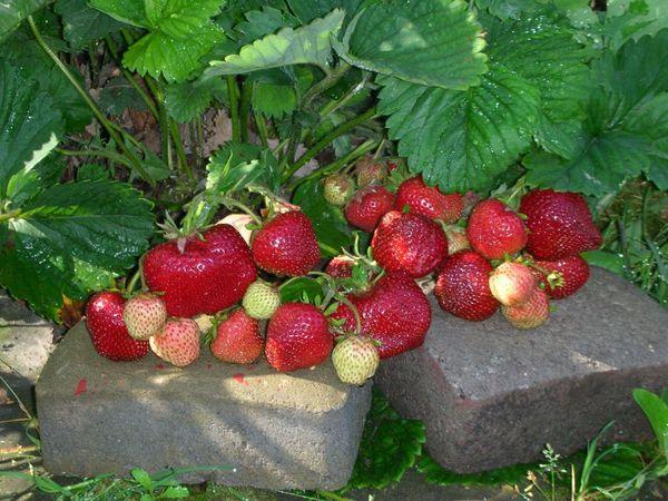 Размер плодоносов начинает уменьшаться на 4-5 год