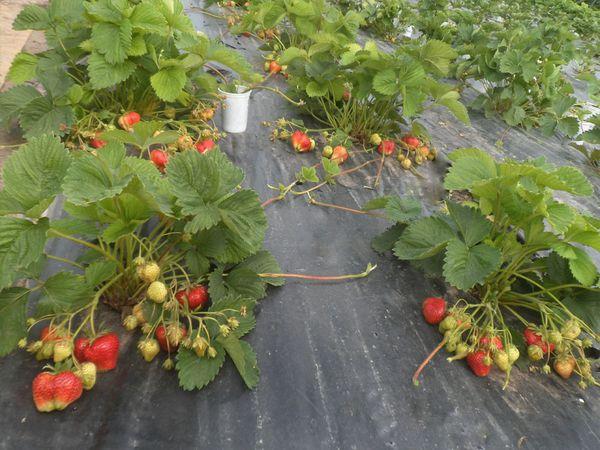 Для получения более раннего урожая можно использовать агроволокно
