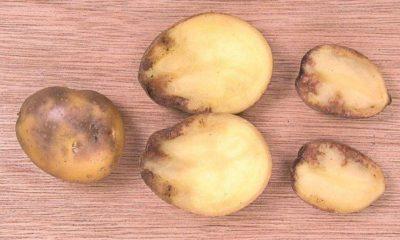 Картофель чернеет