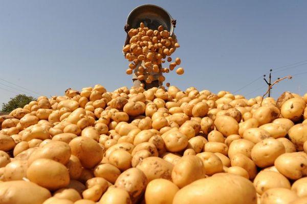 После сбора урожая в течение 20 дней картофель нужно проветрить на открытом воздухе