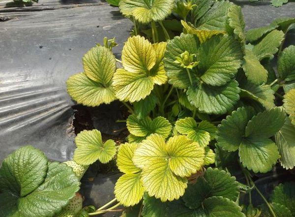 Пожелтение листьев клубники вследствие недостатка микроэлементов