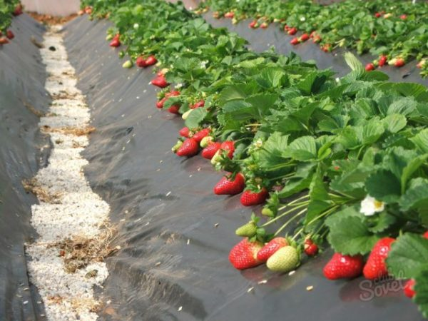 Грядки с ягодой клубники зефир