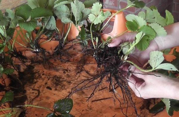 Делением куста размножаются ремонтантные сорта клубники