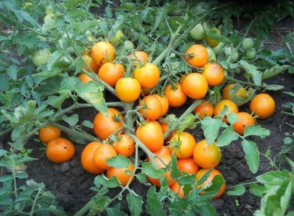 Детерминатный сорт томатов
