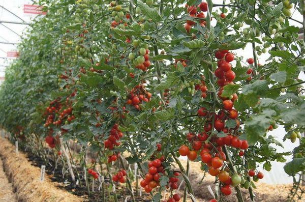 Индетерминатные томаты растут в высоту