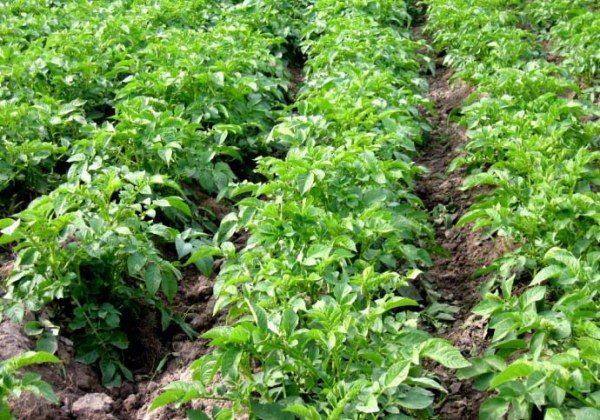 При высоте ботвы картофеля Манифест в 15-18 см необходимо провести глубокое культивирование и окучивание