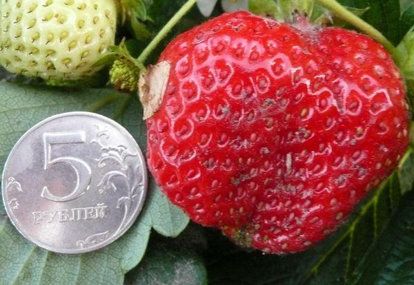 Вес плодов Елизаветы может достигать 100 граммов