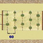Схема посадки клубники Елизавета 1 и 2