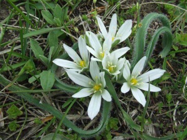 Цветок лука индийского