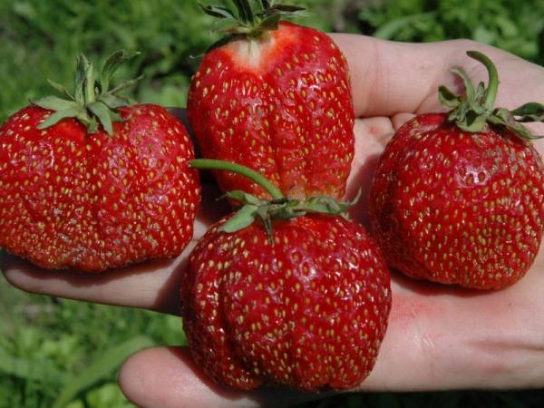 Достоинства сорта: высокая урожайность и крупноплодность ягод, морозоустойчивость, долгое хранение