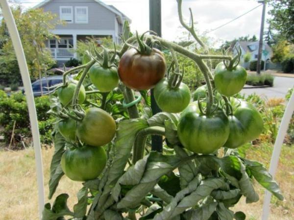 Нельзя допускать пересыхания земли вокруг корневой системы томата, поэтому полив должен быть своевременным и регулярным